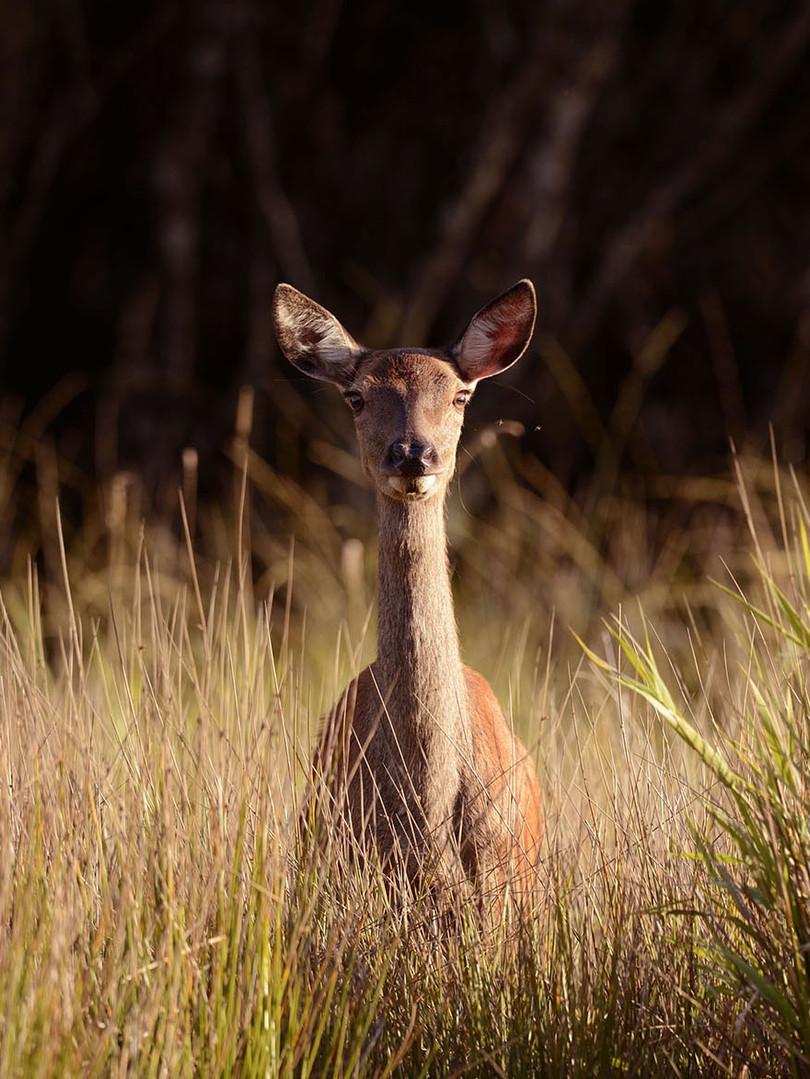 Biche étonnée dans les hautes herbes