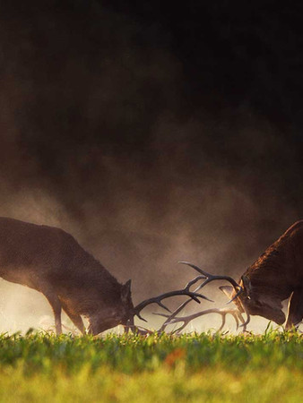Combat de cerfs pendant le brame