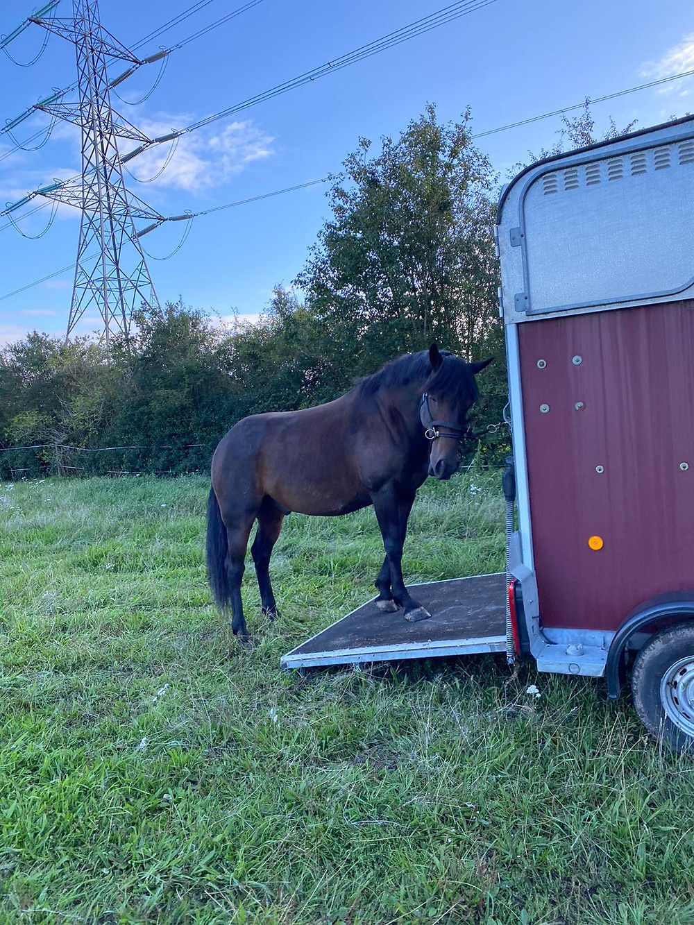 Travelling, preparing your horse for travel. Ifor Williams trailer with bay horse.