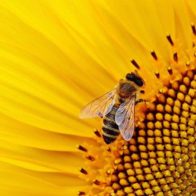 bee-close-up-flower-2198671-IG_alexas_fo