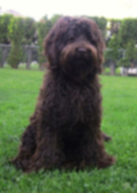 Rosewood Harvey at Sun Valley Labradoodles