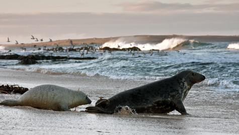 Grey Seal and Pup. Sannick Bay