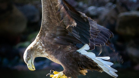 Sea Eagle-Isle of Skye