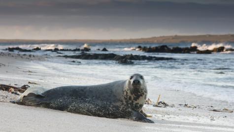 Grey Seal-Sannick Bay