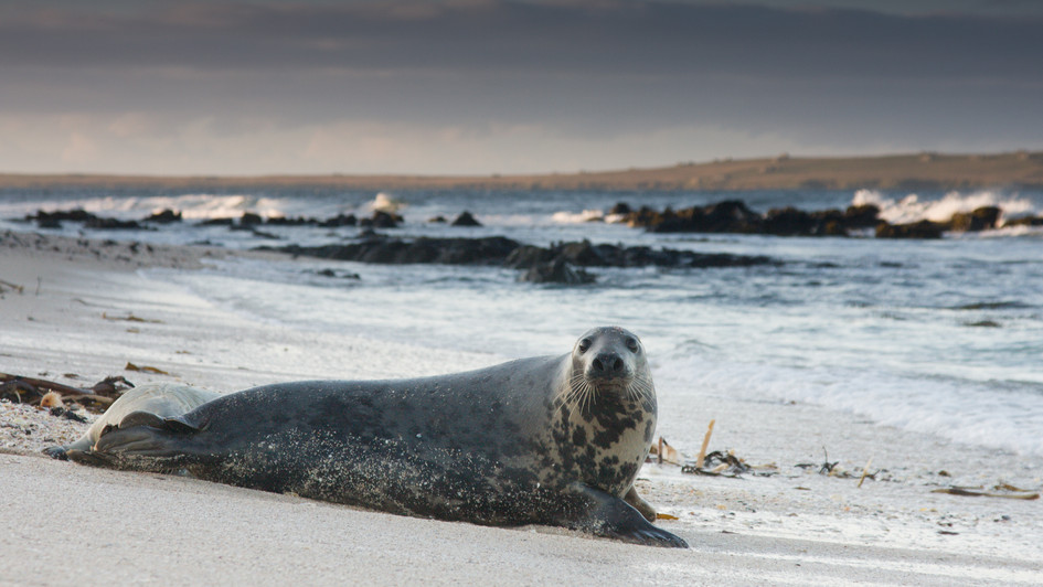 Grey Seal-Sannick Bay