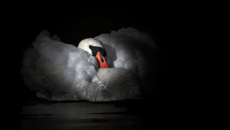 Swans at Stirling University