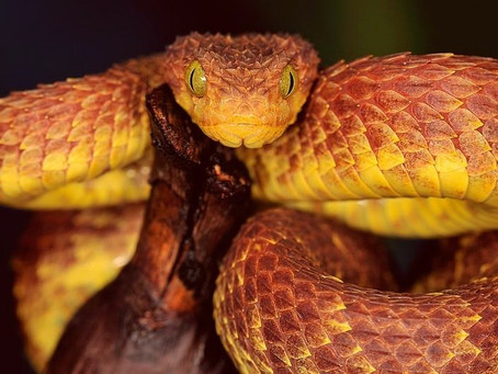 Meet the Dragon Snake, the inspiration for the stunning new series: The Elyrian Chronicles!