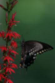 Spicebush Swallowtail.jpg
