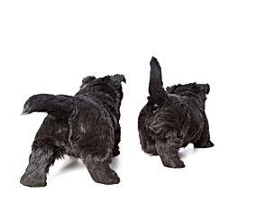 Calan and Fyfa puppies