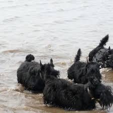 Scotties at the beach