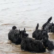 Scotties Love the Beach