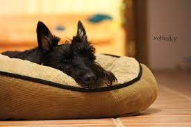 Scottie bed