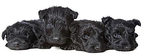 Calan Fyfa puppies