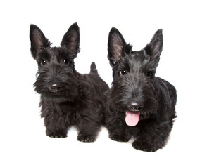 What Does Coconut Oil Mean To A Scottie