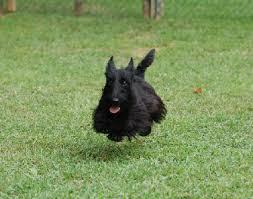 Scottie running to dinner