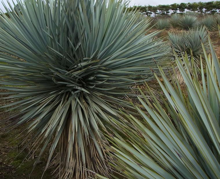Yuccagirita
