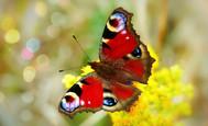 peacock_butterfly_aglais_io.jpg