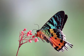 madagascan_sunset_moth_underwing.jpg