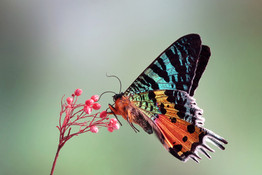 Madagascan Sunset Moth Underwing