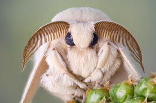 Silk moth portrait. White fur and large antennas..jpg