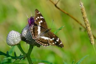 Female Purple Emperor Butterfly