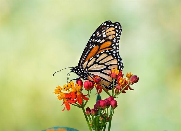 Monarch butterfly (Danaus plexippus) feeding on tropical milkweed.jpg