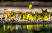 Group of butterflies puddling on the ground and flying in nature, Thailand Butterflies swa