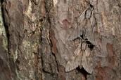 A pair of  Pine Hawk Moths well camouflaged against pine tree_bark.jpg