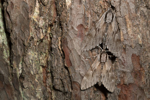 Pine Hawk Moths