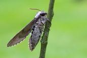 Sphinx_pinastri_Pine_Hawk_Moth_side_view.jpg