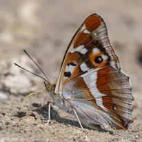 Purple Emperor Butterfly Underwing