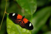 Postman_Butterfly_Heliconius_melpomene_dorsal_view.jpg