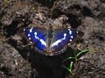 Purple_Emperor_Apatura_iris_male_butterfly.jpg