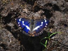 Male Purple Emperor Butterfly