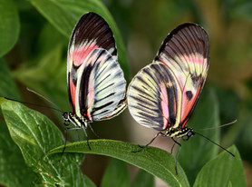 A pair of Piano Key Butterflies mating