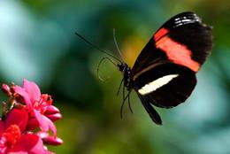 Common Postman Butterfly in Flight
