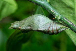 Lime Butterfly Pupa