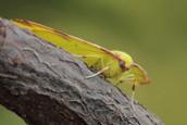 brimstone_moth_opisthograptis_luteolata_3.jpg
