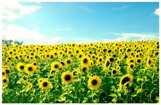 colby+sunflowers.jpeg