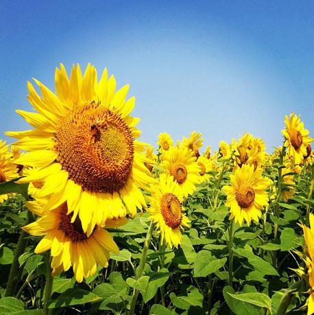 colby sunflower field 4.jpg