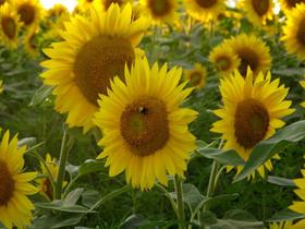 colby sunflower field 9.jpg