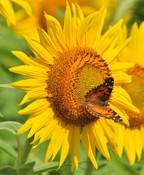 colby sunflower field 5.jpg