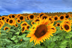 colby sunflowe field 2.jpg