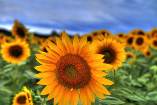 colby sunflower field 16.jpg