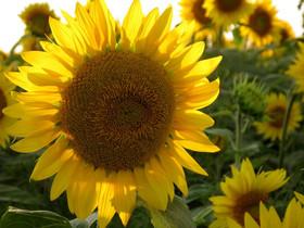 colby sunflower field 8.jpg