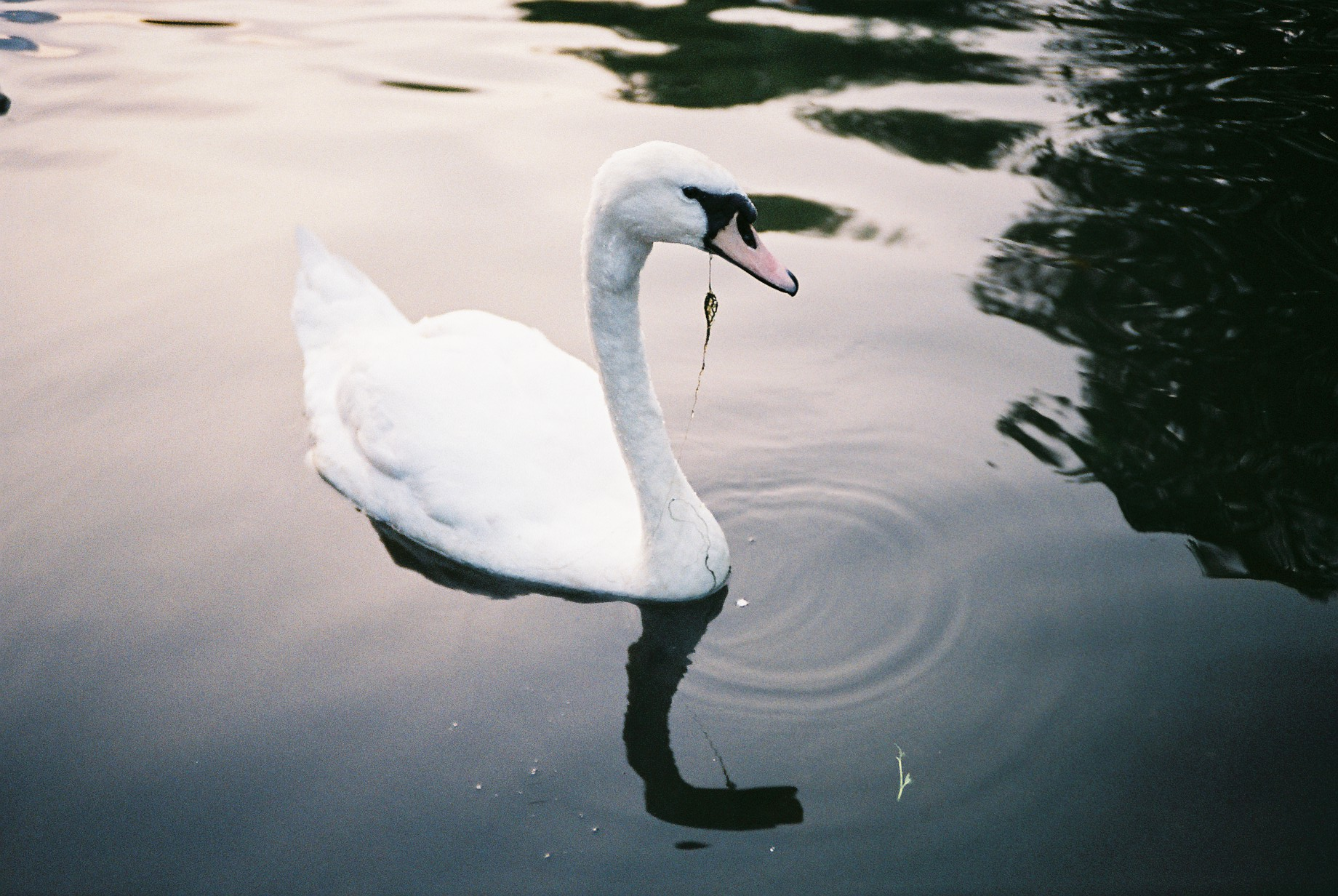 35mm Nuneaton Young Swan