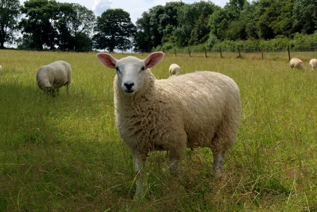 Market Bosworth Sheep