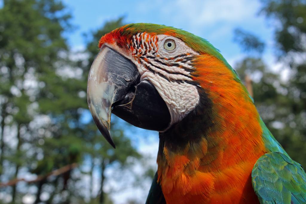 Leciester Parrot