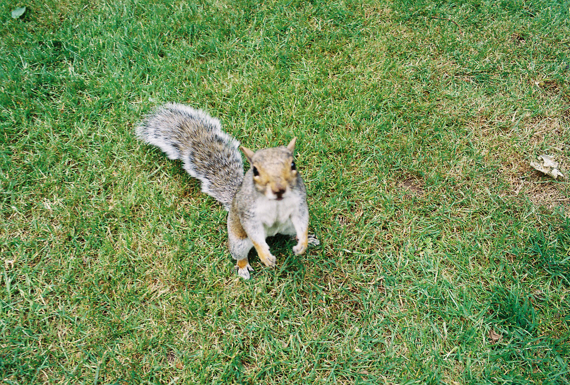 35mm Leamington Spa Squirrel