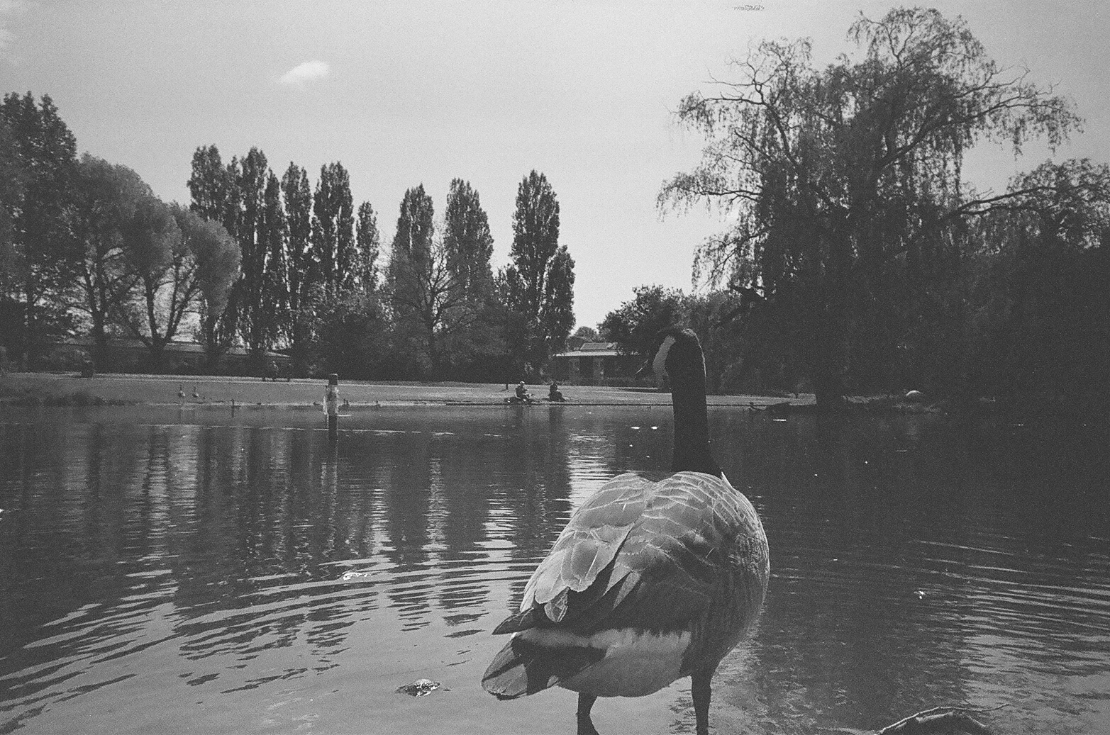 35mm Coventry Quinton Pool Goose